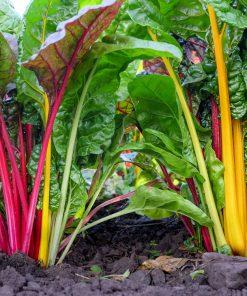 Solhatt økologiske frø Mangold [Rainbow]
