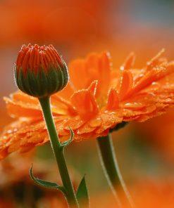 Solhatt økologiske frø Ringblomster [Calendula Officianlis]