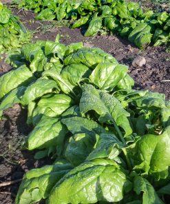 Solhatt økologiske frø Spinat [Gamason]