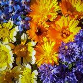 Solhatt økologiske frø Spiselig Blomster [Blanding]