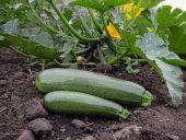 Solhatt økologiske frø Squash [Zuboda]