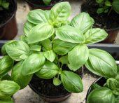 Solhatt økologiske frø Basilikum [Mellomstorblade]