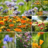 Solhatt økologiske frø Bieblomster [Blanding]