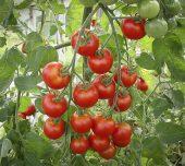 Solhatt økofrø Kirsebærtomat Zuckertraube