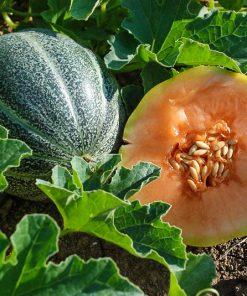 Solhatt økofrø Melon Petit Gris de Rennes