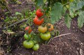 Solhatt økofrø Tomat Norderås Busk