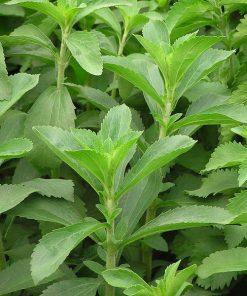 Solhatt økofrø Stevia