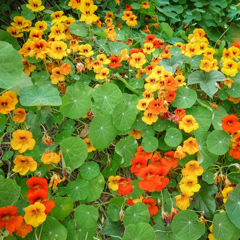 Solhatt økofrø Blomkarse [Tropaleum Majus]