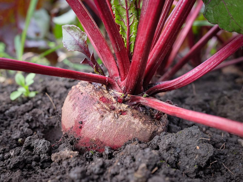 Solhatt økologiske frø Rødbet [Robuschka]