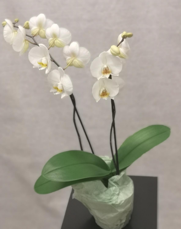 Hvit 2-grens orkide