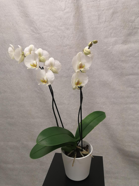 Hvit 2-grens orkide m/hvit potte