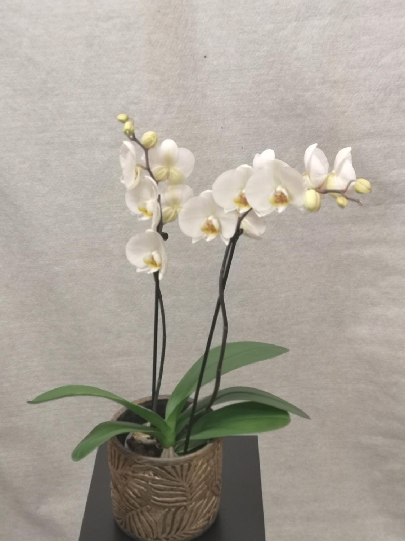 Hvit 2-grens orkide m/Flora gullpotte