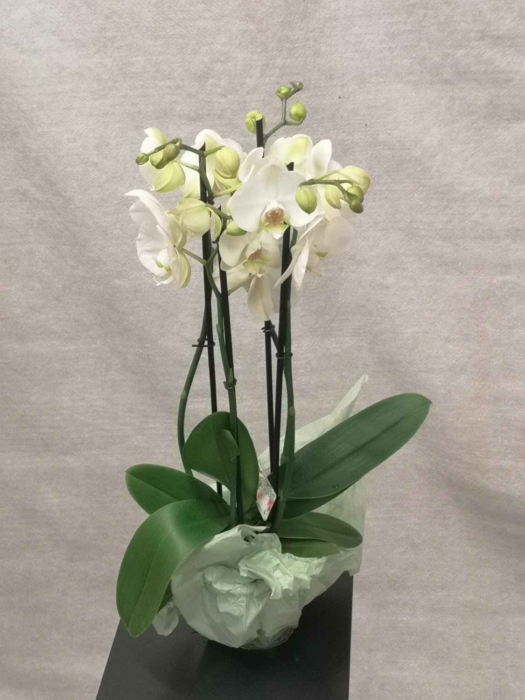 Hvit 4-grens orkide