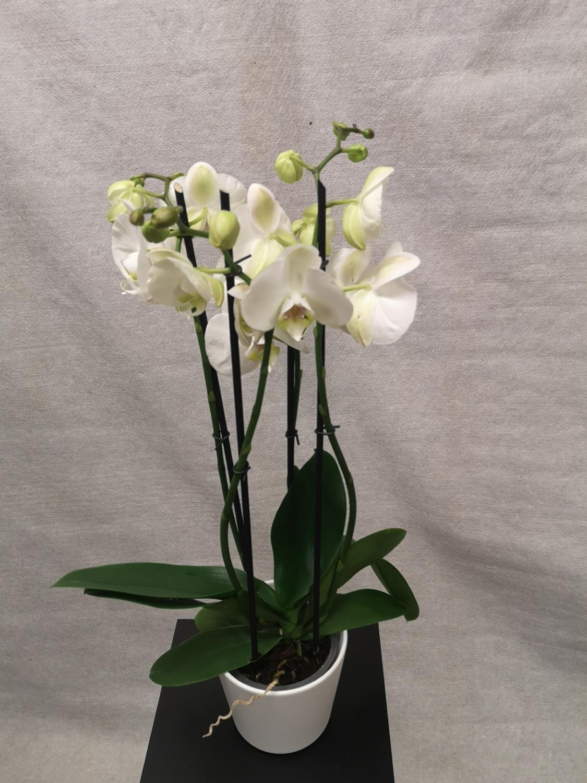 Hvit 4-grens orkide m/hvit potte