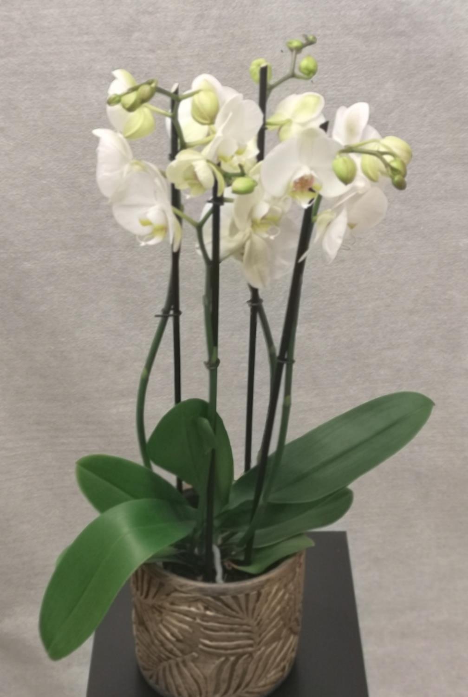 Hvit 4-grens orkide m/Flora gullpotte