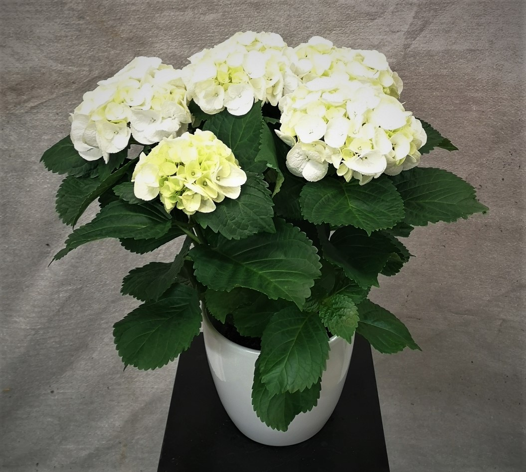 Hortensia, Hvit med hvit potte
