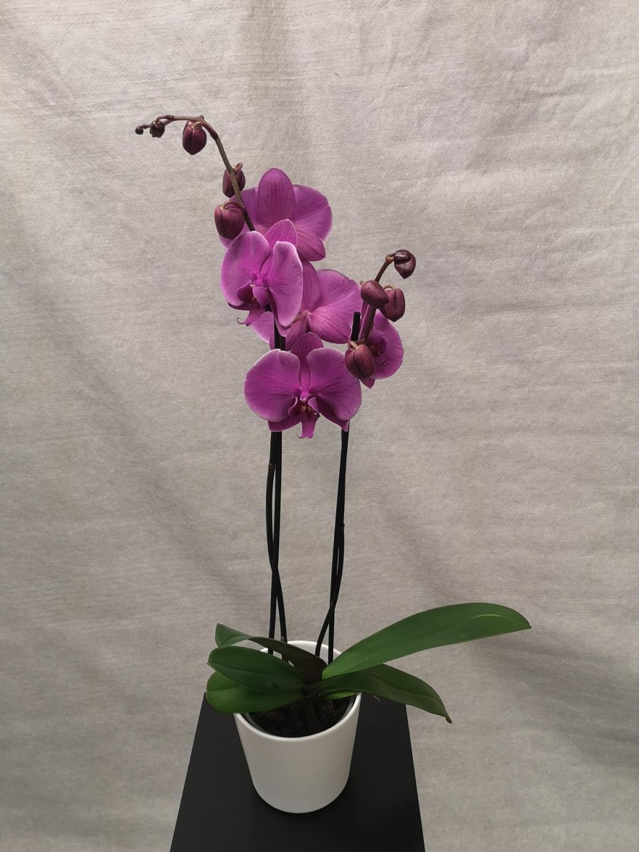 Lilla 2-grens orkide m/hvit potte