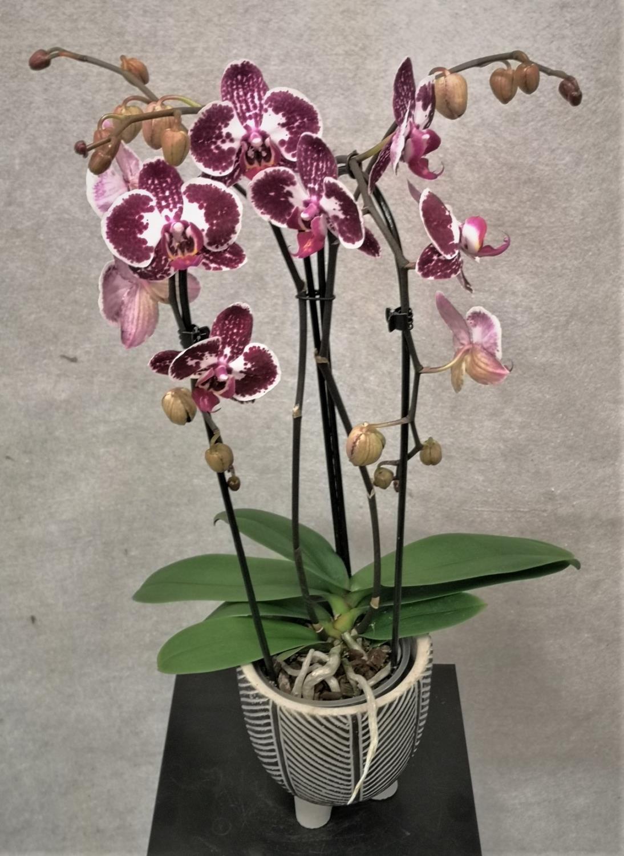 Orkide vannfall lilla med potte