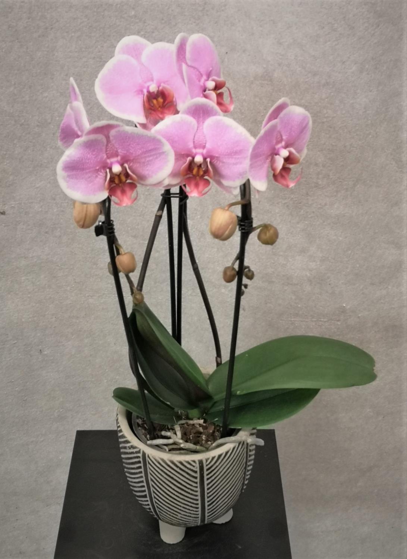 Orkide vannfall rosa med potte