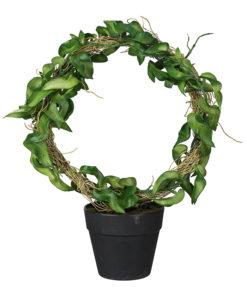 Hoya 30 cm