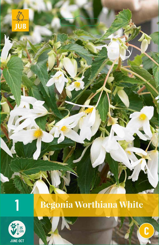 Begonia Bertinii Worthiana White