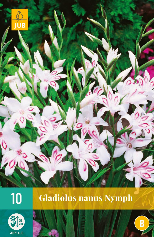 Gladiolus nanus Nymph
