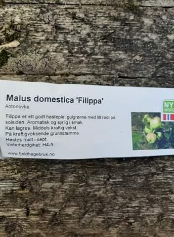 Eple 'Filippa' på kraftigvoksende stamme ( Antonovka)