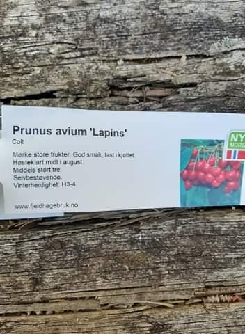 Søtkirsebær (Moreller) 'Lapins' (Colt)