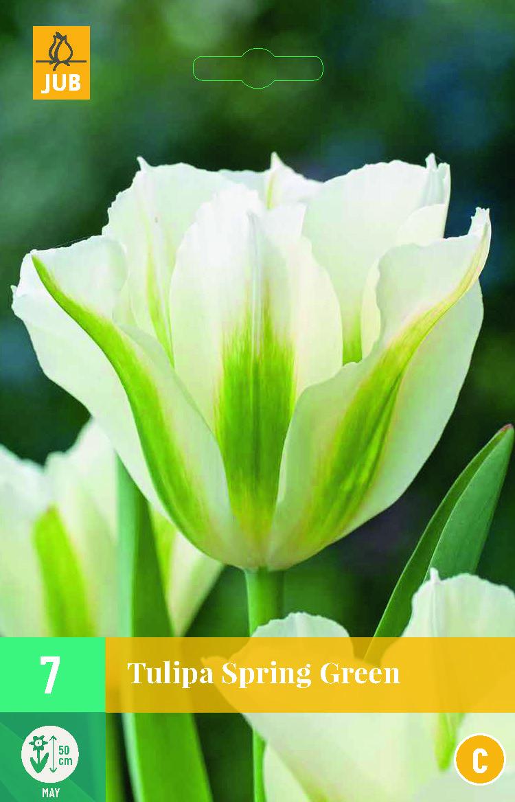 TULIP SPRING GREEN 7