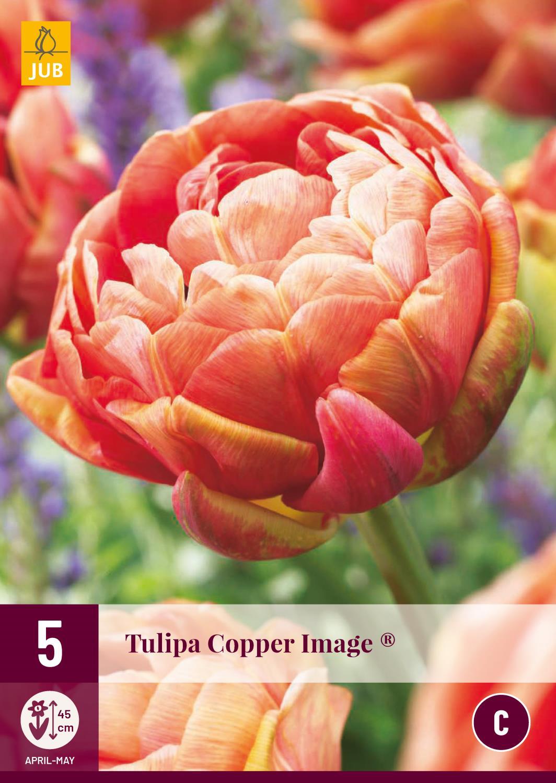 TULIP COPPER IMAGE 5