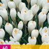 CROCUS WHITE 50