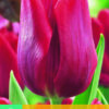 TULIPA RUBY PRINCE 7