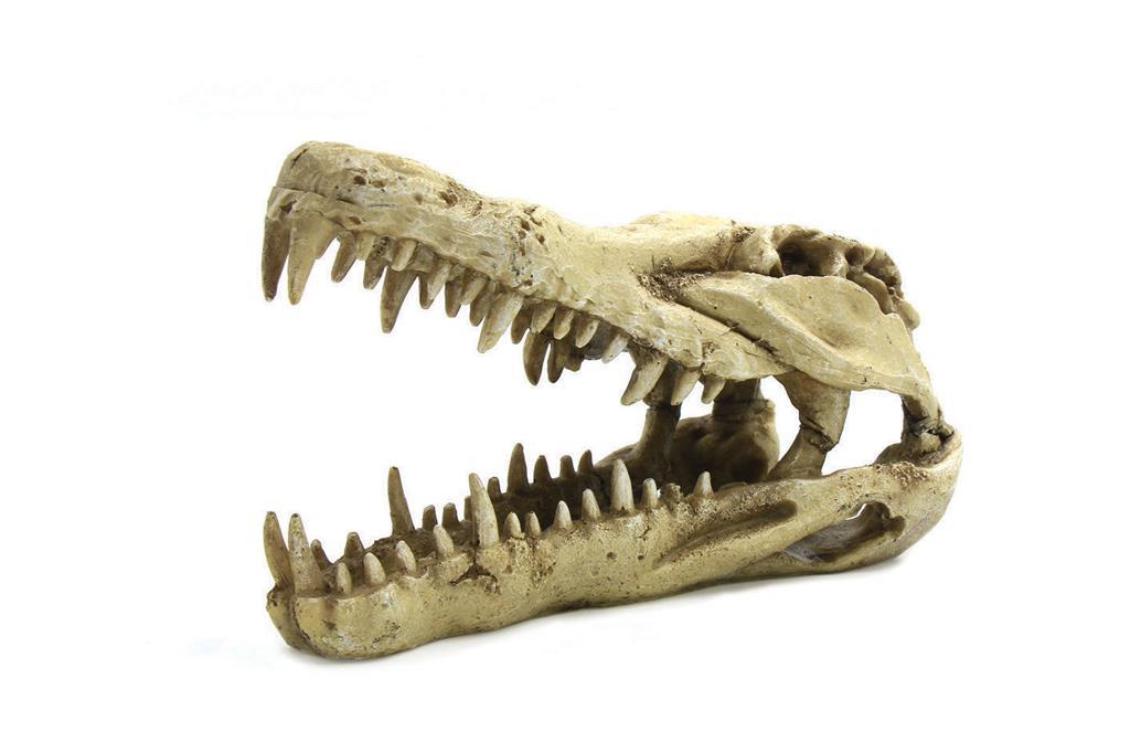 Krokodillehodeskalle 22X10,3X13 CM