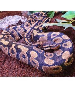 "KONGEPYTON ""Dennis"" Python regius"