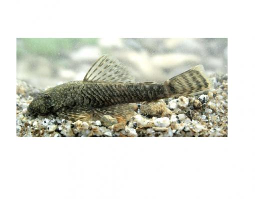 ANCISTRUS 5-6 cm