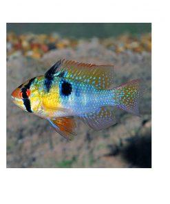 SOMMERFUGLCIKLIDE, Blå, Microgeophagus ramirezi
