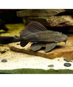 GIBBICEPS, XL, 14-18cm.Glyptoperichthys gibbiceps