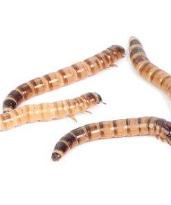 ZOPHOBAS Moria, larver Pr. Stk. (levende)