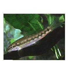 KINESISK ALGESPISER Gyrinocheilus aymonieri