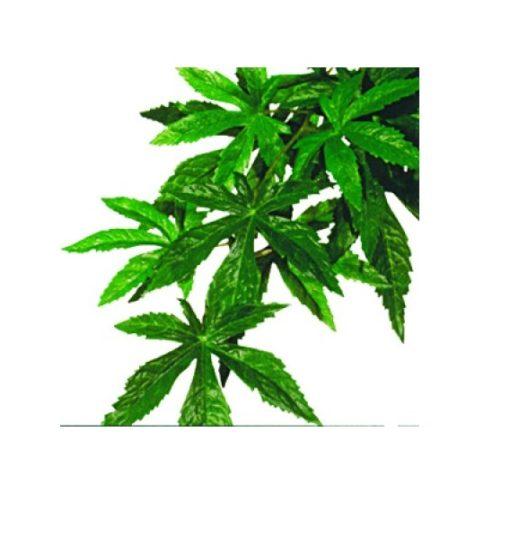 Abutilon L Plast/silkeplante Exoterra