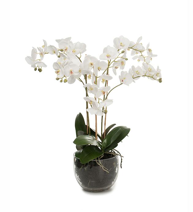 Phalaenopsis 70 cm