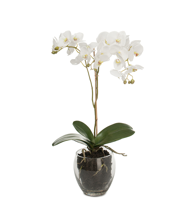 Phalaenopsis 65 cm