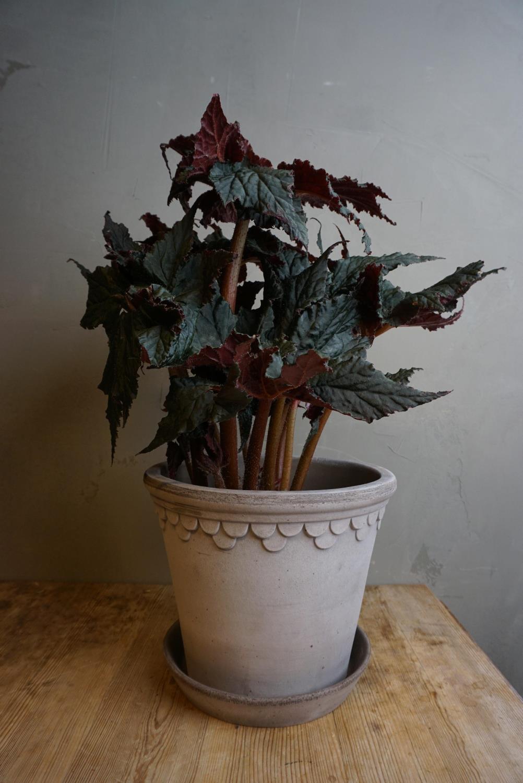 Begonia Black Taffeta