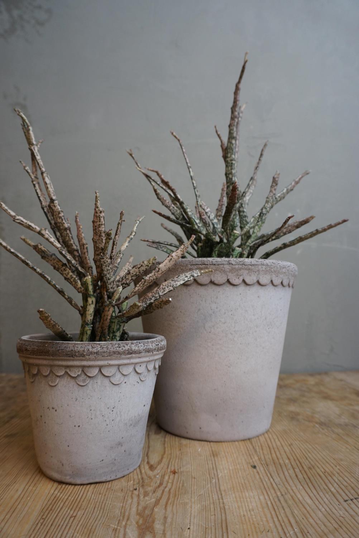 Euphorbia Platyclada liten