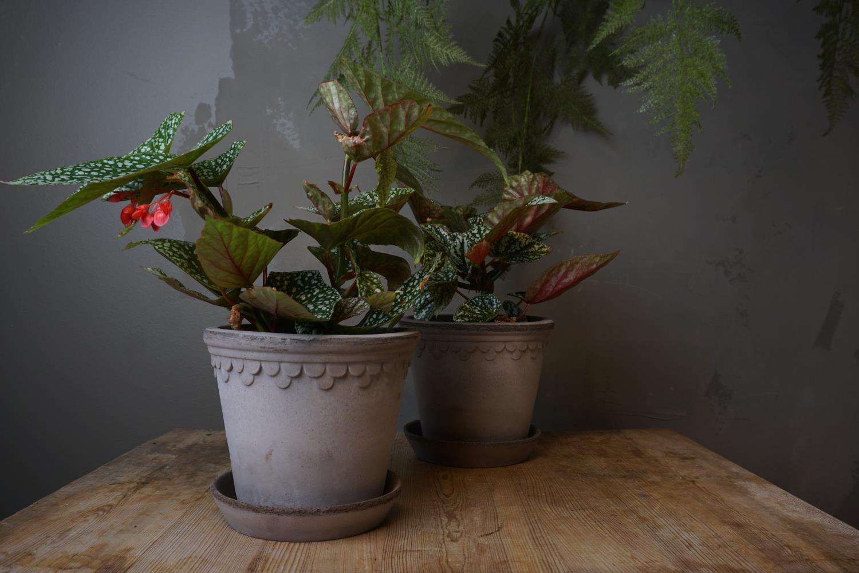 Begonia Snowcapped