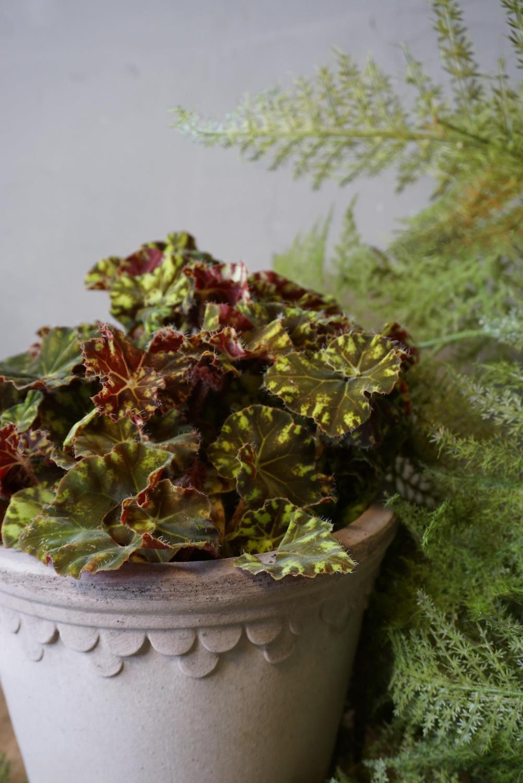 Begonia Rex Zumba
