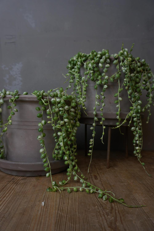 """Senecio """"String of pearls"""" Variegata"""
