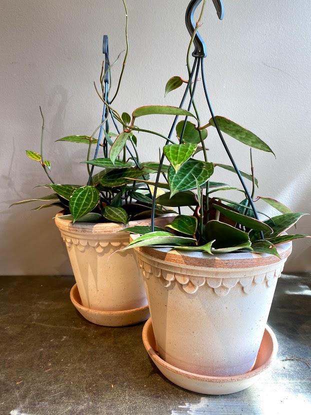Hoya Macrophylla