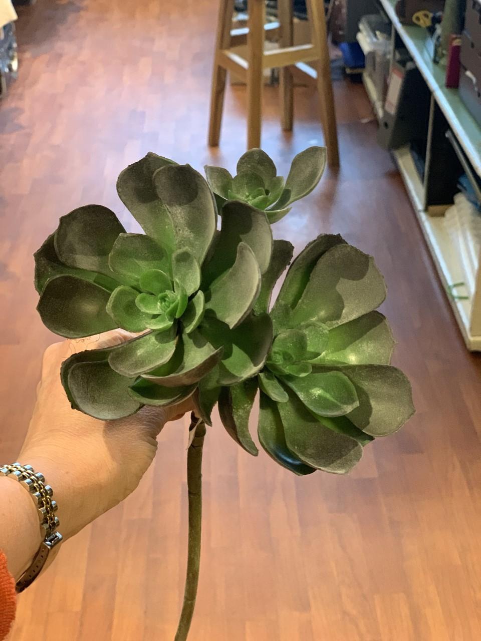 Mr Plant Echeveria snitt liten