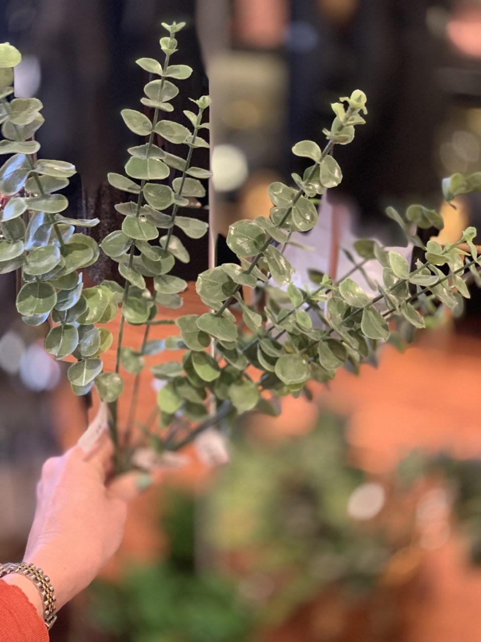 Mr Plant Eucaluptus snitt